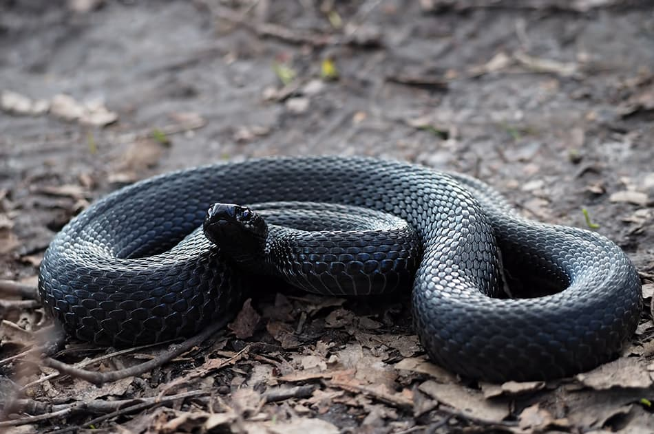 What Does It Mean to Dream of a Black Snake