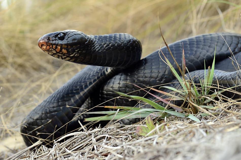 Dream of a big black snake
