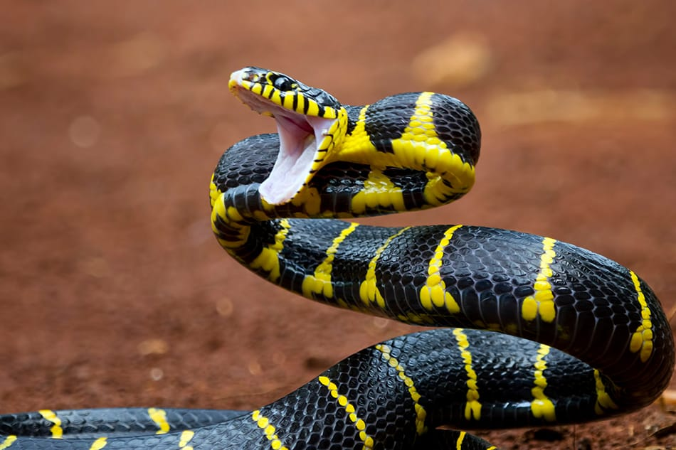 Dream of a snake that is black with a second color
