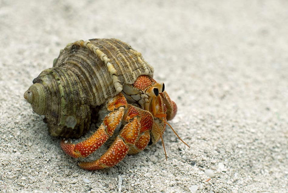 Dreaming of A Hermit Crab