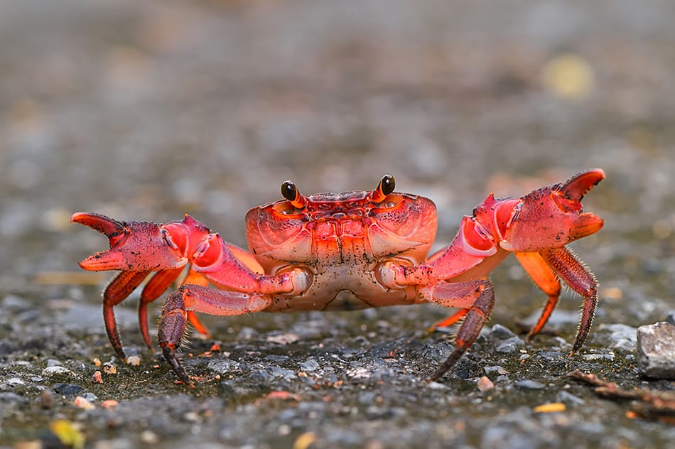 Dreaming of A Red Crab