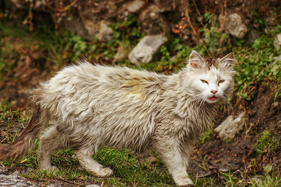 Dream of a white cat getting dirty