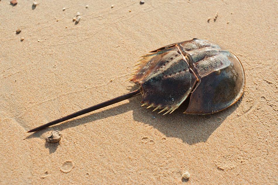 Dreaming of Horseshoe Crab