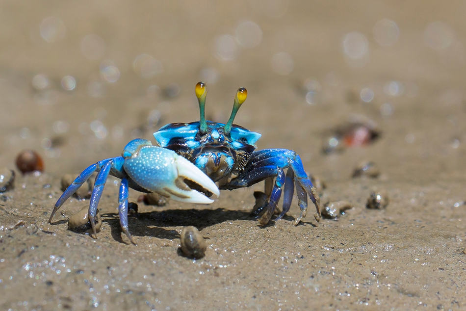 Dreaming of a Blue Crab