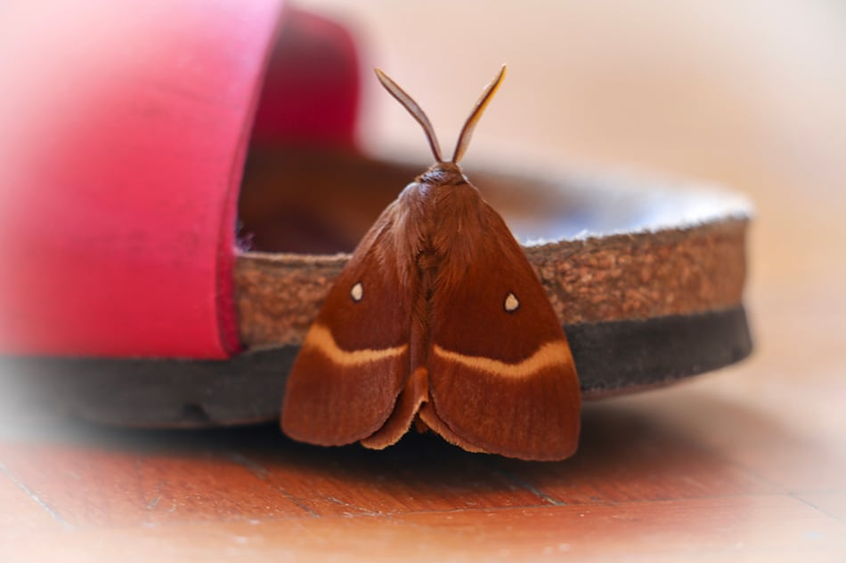 Brown moth dream meaning