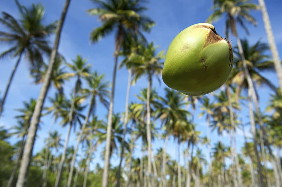 Dream of a coconut falling on you