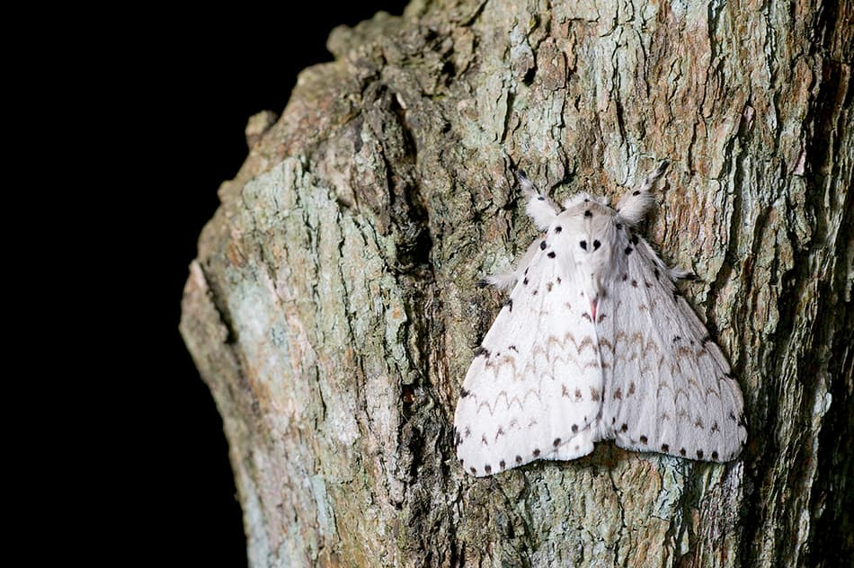 White moth dream meaning