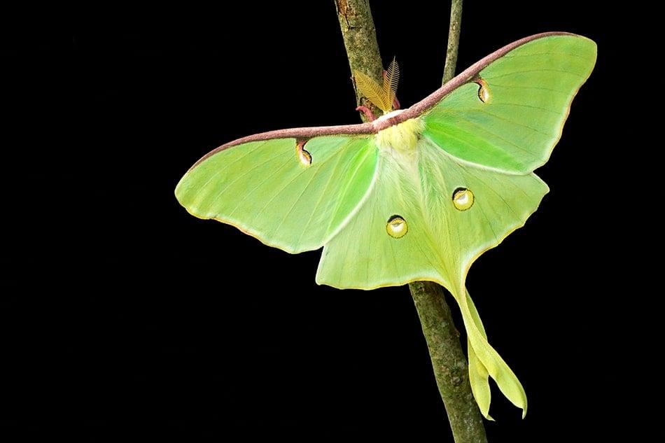 Dream of a Luna moth