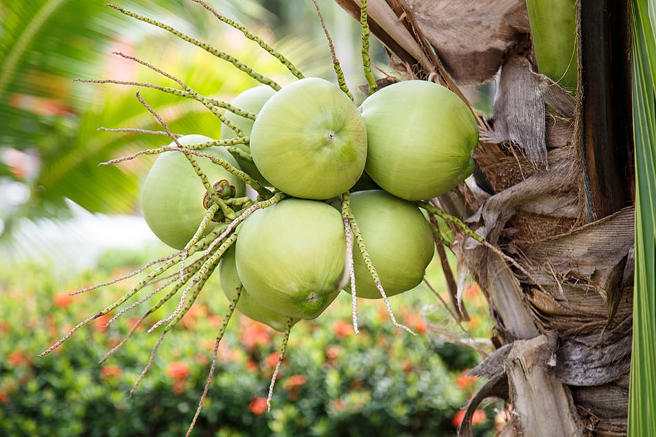 Coconut Dream Meaning & Symbolism