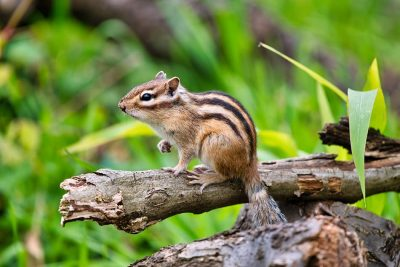 Chipmunk Meaning and Symbolism