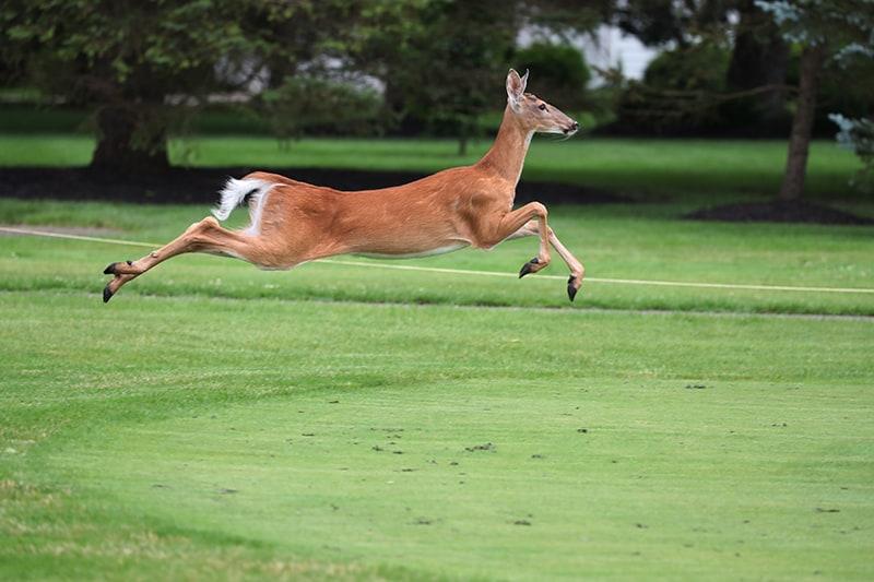 Dream of A Running Deer or Runaway From The Deer