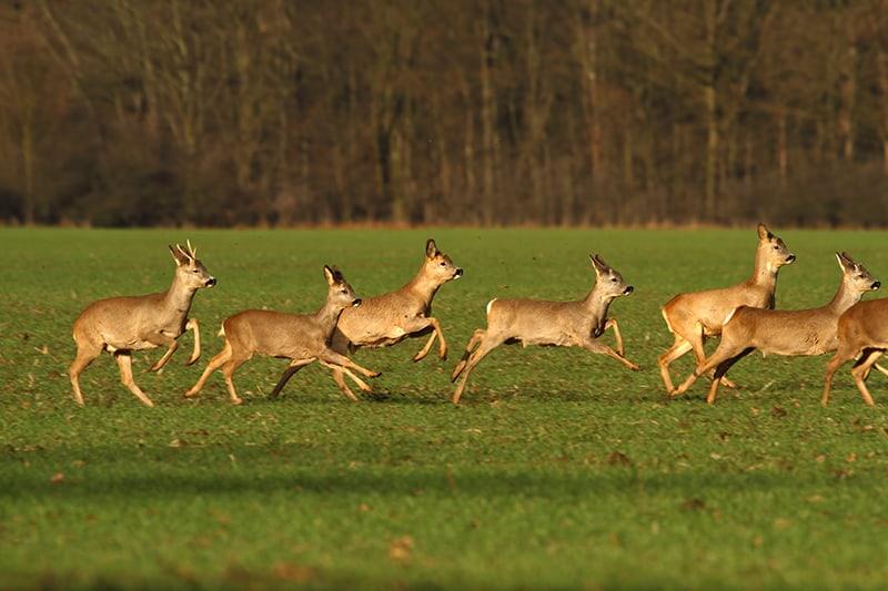 Dream of Seeing A Deer Herd