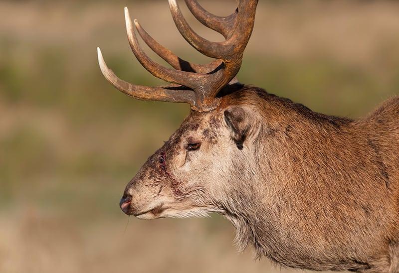 Dream of an Injured Deer / Reindeer