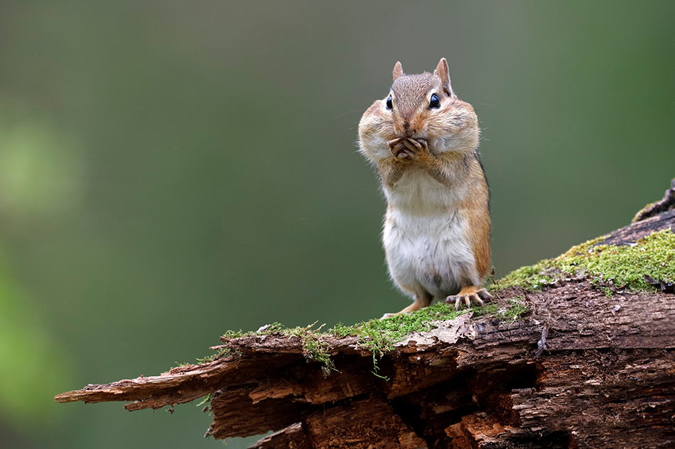 What Does It Mean to Encounter a Chipmunk