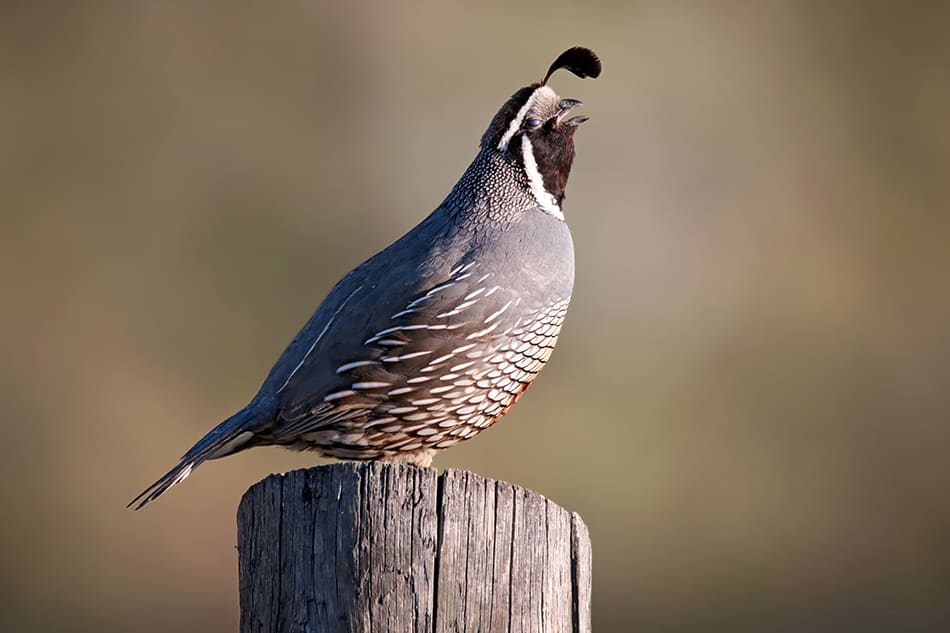 What Does It Mean When You Encounter a Quail?