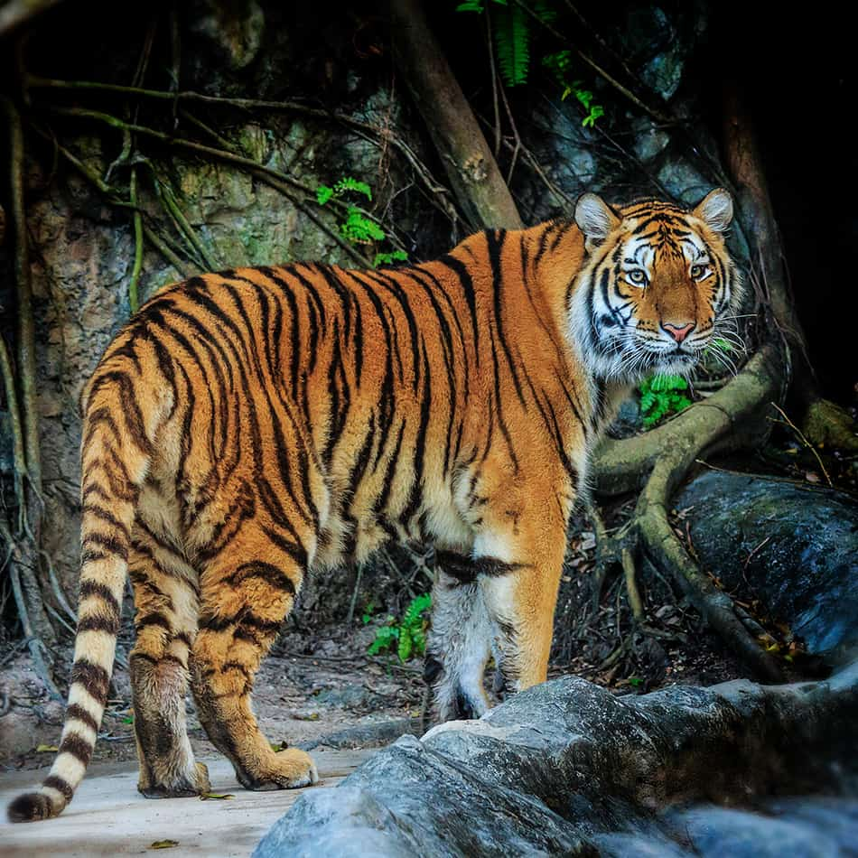 Encounter a Tiger in Your Dream