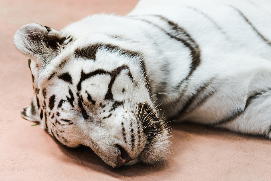 Dreaming About Killing The White Tiger