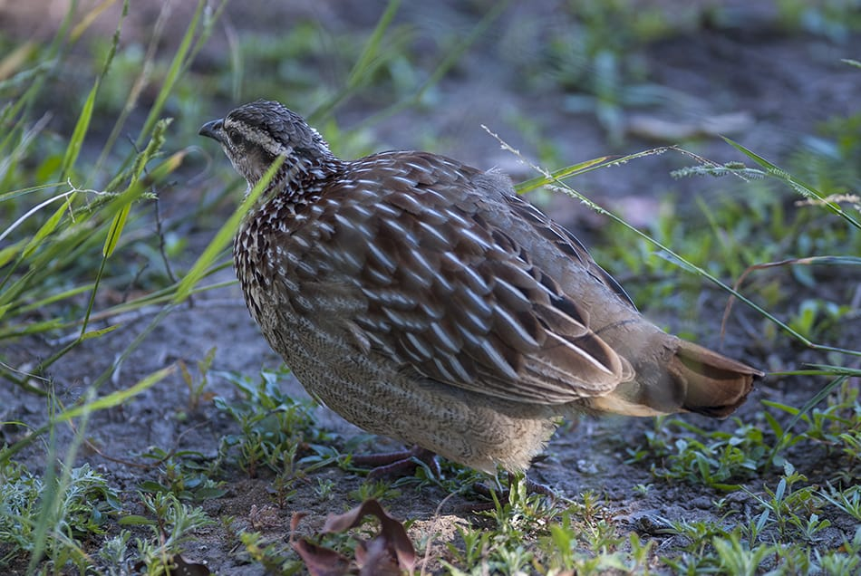 Quail Meaning and Symbolism