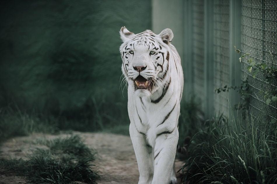 The White Tiger As A Spirit Animal
