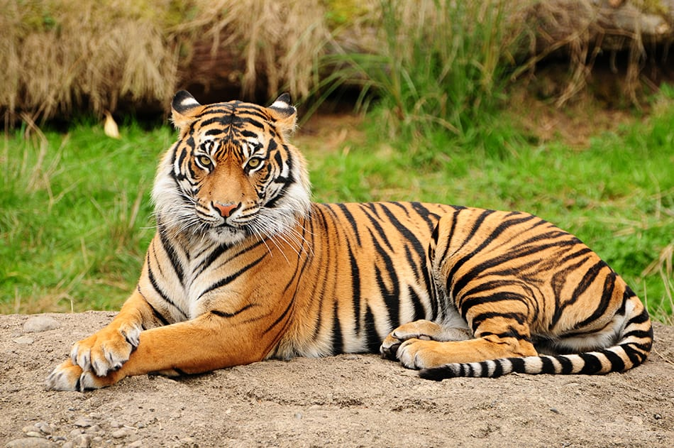 Tiger Meaning and Symbolism