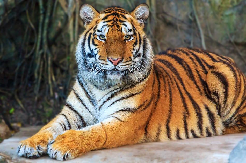 Tiger as a Totem Animal