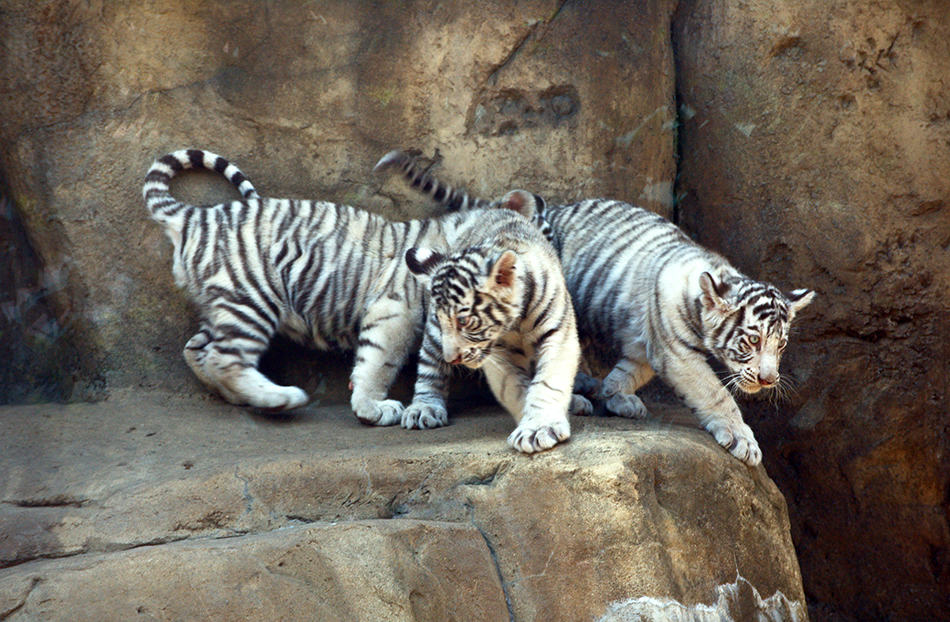 Dreaming About White Tiger Cubs