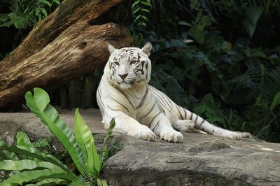 White Tiger Dreams - Meaning And Interpretation