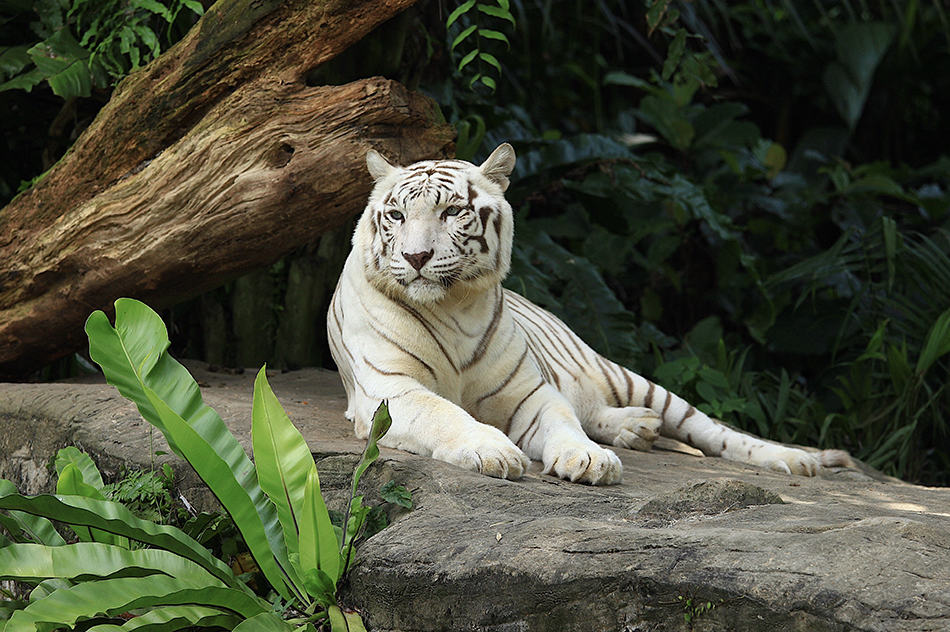 White Tiger Dreams – Meaning And Interpretation