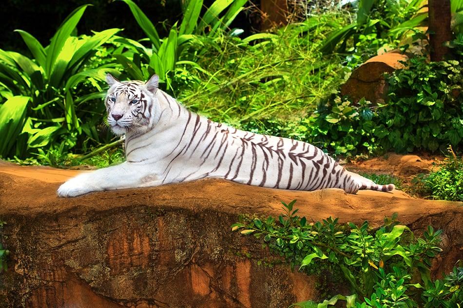 White Tiger Symbolism