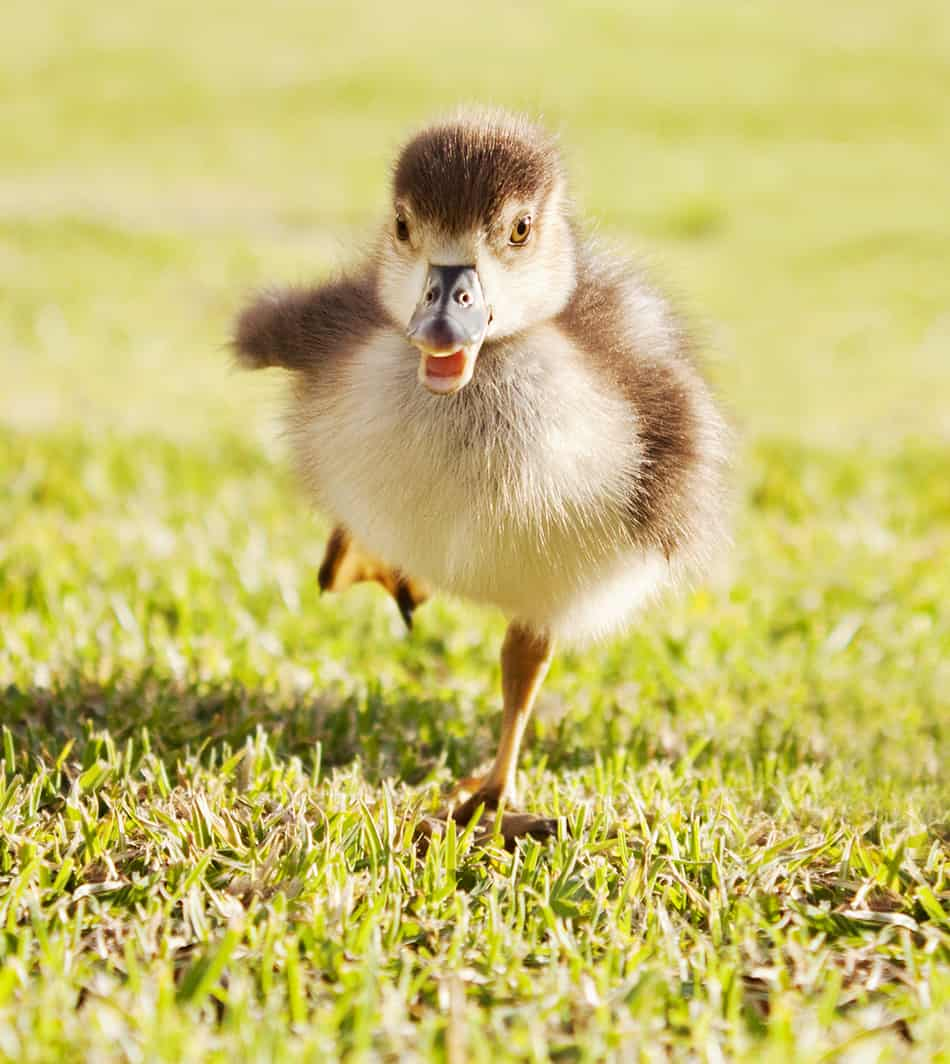 a duck chasing you