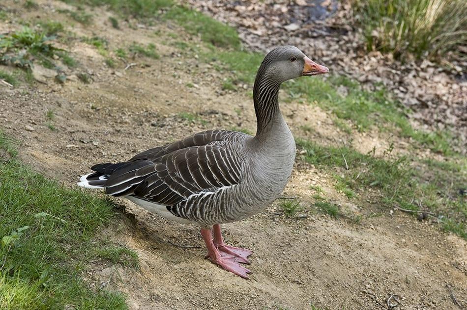 a duck walking on land