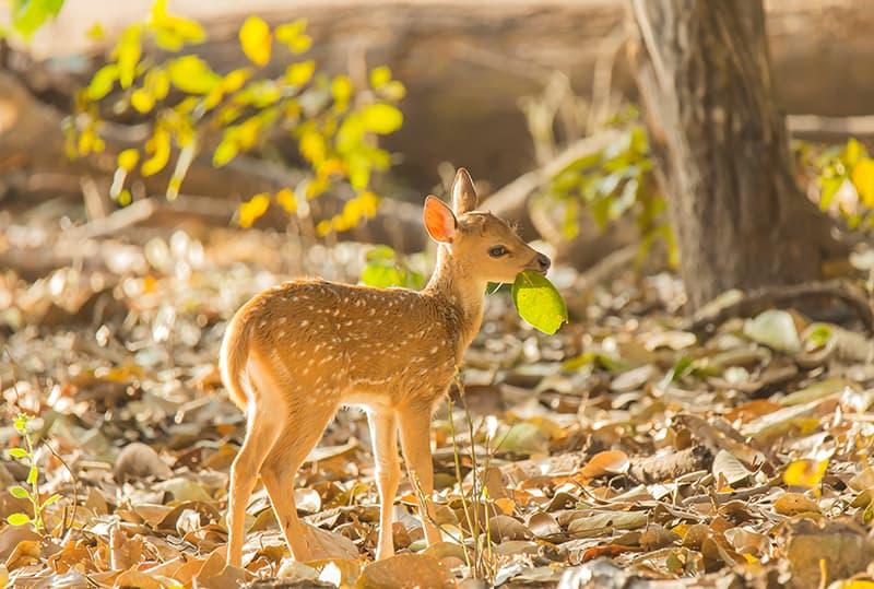 Dream of a Baby Deer / Reindeer