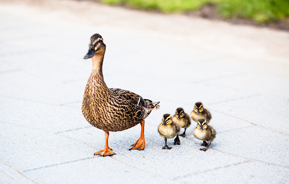 ducks with ducklings