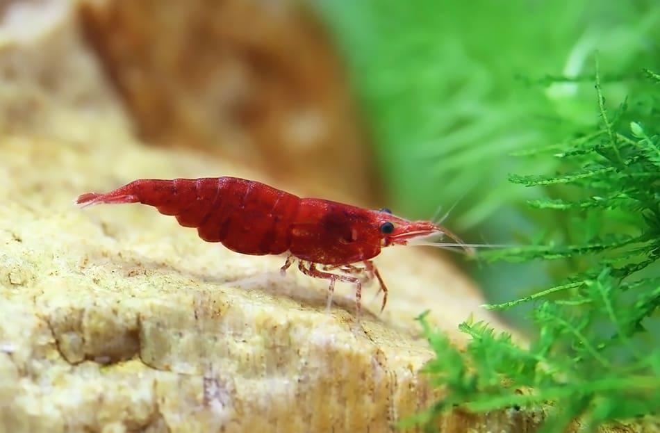 Dreaming of shrimp in an aquarium