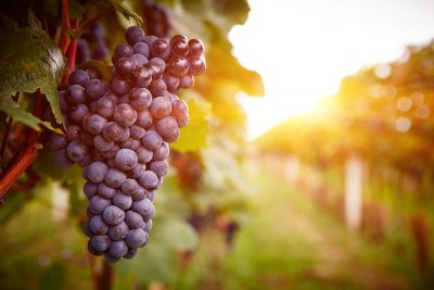 What Does It Mean to Dream About Grapes?