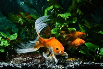 What Does It Mean to Dream of a Goldfish?
