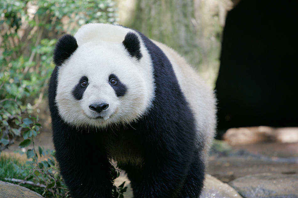 What Does It Mean to Encounter a Panda?