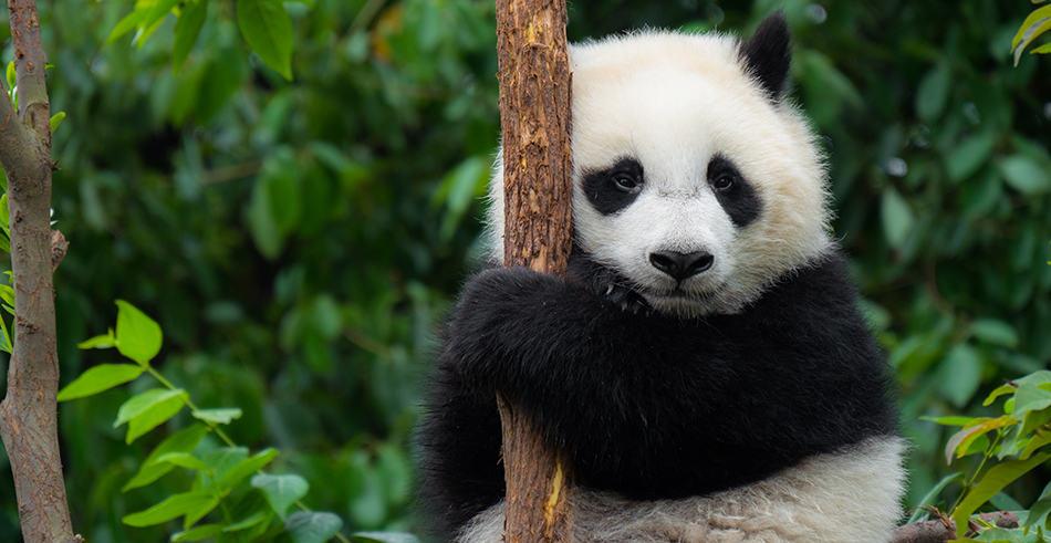 Panda Dream Interpretations