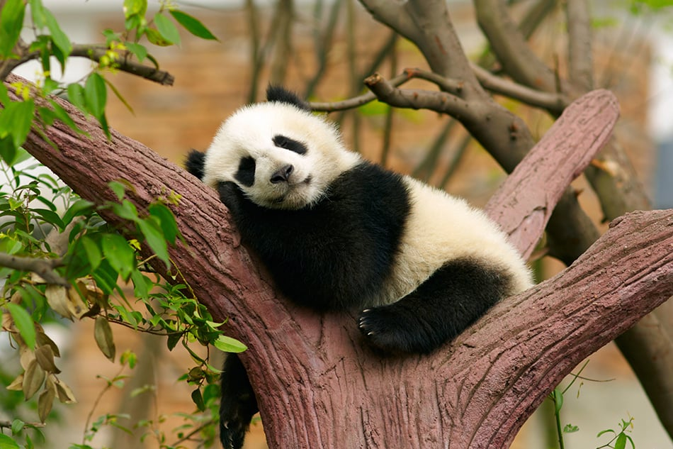 Panda Meaning and Symbolism