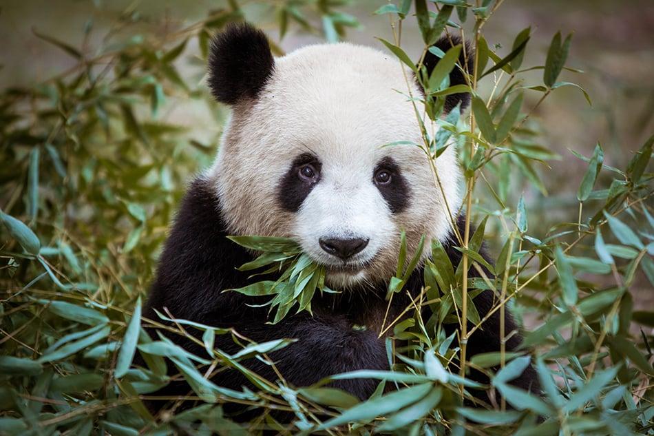 Panda as a Totem Animal