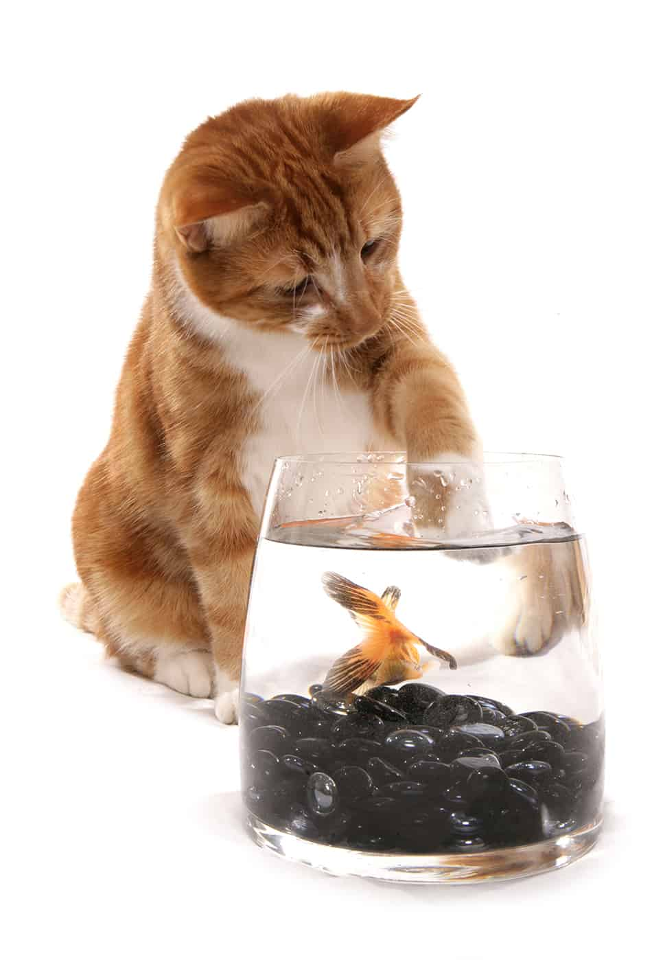 Dream about a cat eating a goldfish