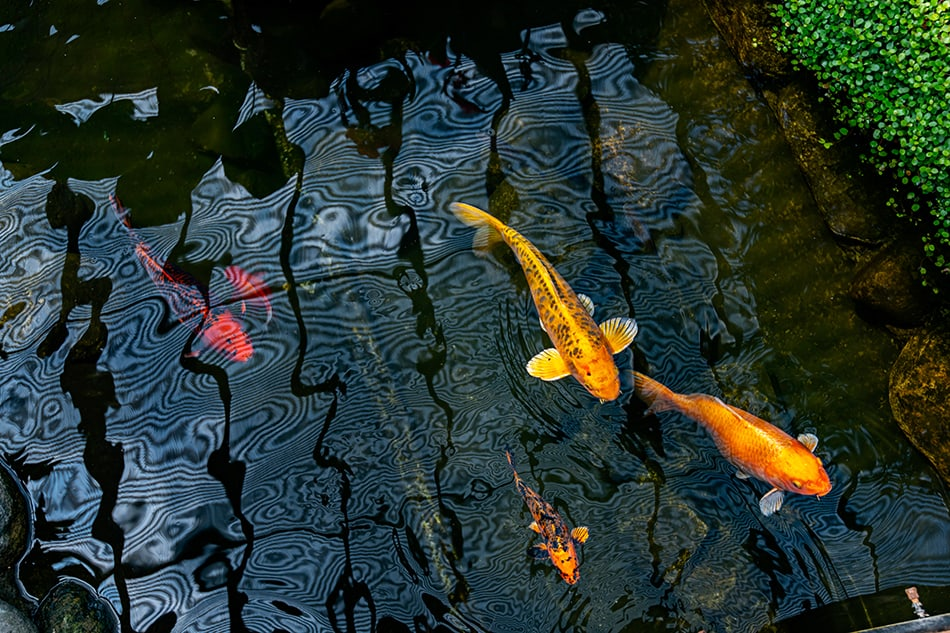 Dream of a goldfish in the wild
