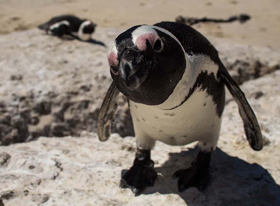 Dream of a penguin approaching you