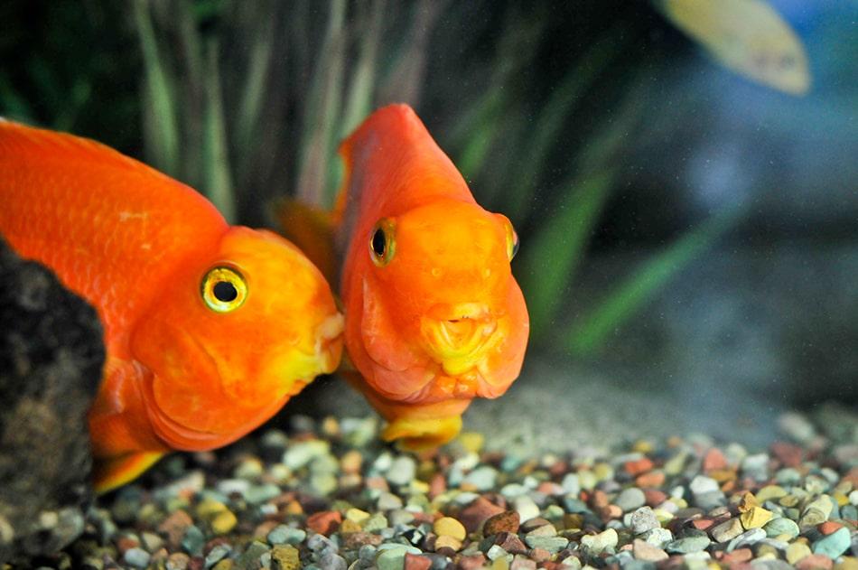 Dream of goldfish mating