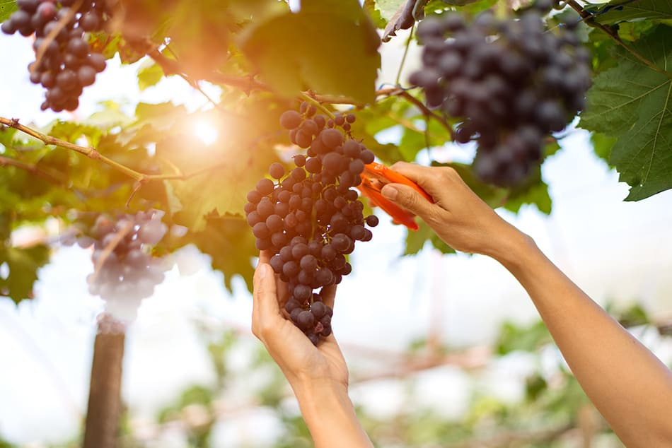 Dream of picking grapes