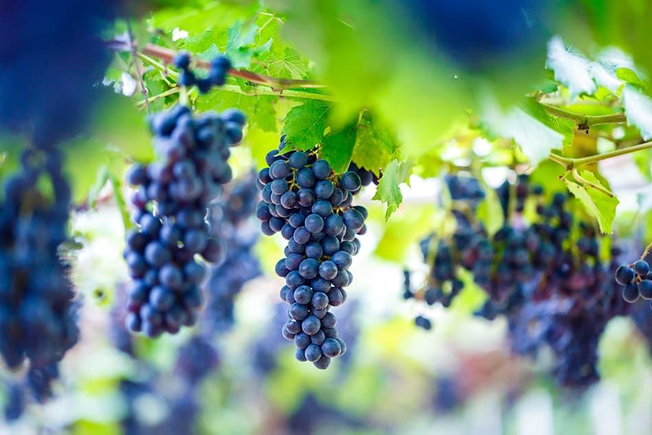 Dream of purple grapes