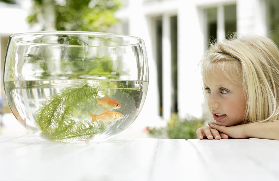 Dream of watching goldfish