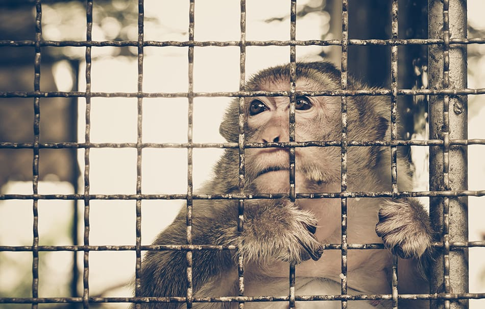 Dream of a caged monkey