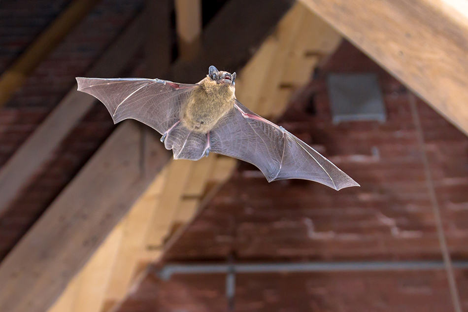 Dream of bat flying in house