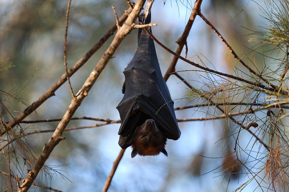 Dream of a black bat